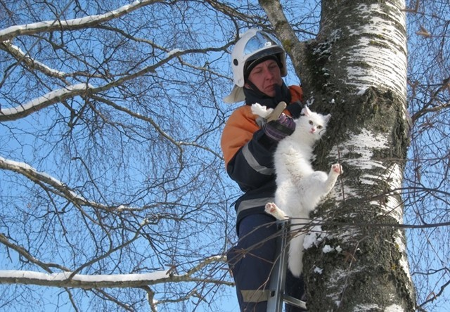 11. Кошка не может вскарабкаться на дерево вниз головой из-за устройства когтей.  Для того, чтобы спуститься с дерева, ей нужно отступать, пятясь задом. животные, коты, факты