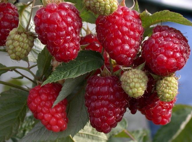 Лучшие сорта малины для черноземья