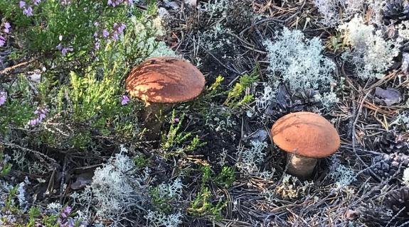 В Карелии пошли грибы