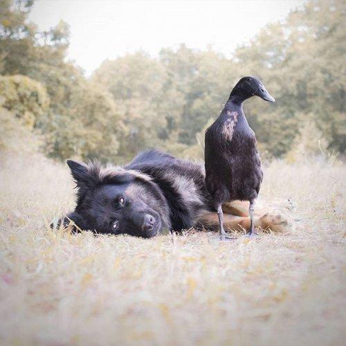 Очень трогательные отношения между уткой и овчаркой поразят вас!