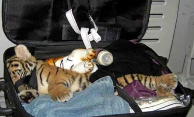 В сумке пытались провести тигра. Находки службы досмотра в аэропорту