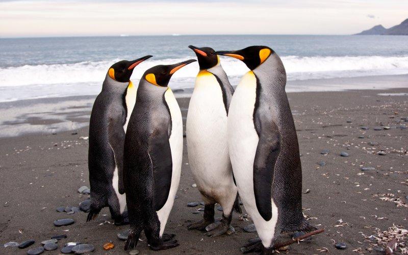 Императорский пингвин без еды, волк, животные, медведь, пингвин, факты