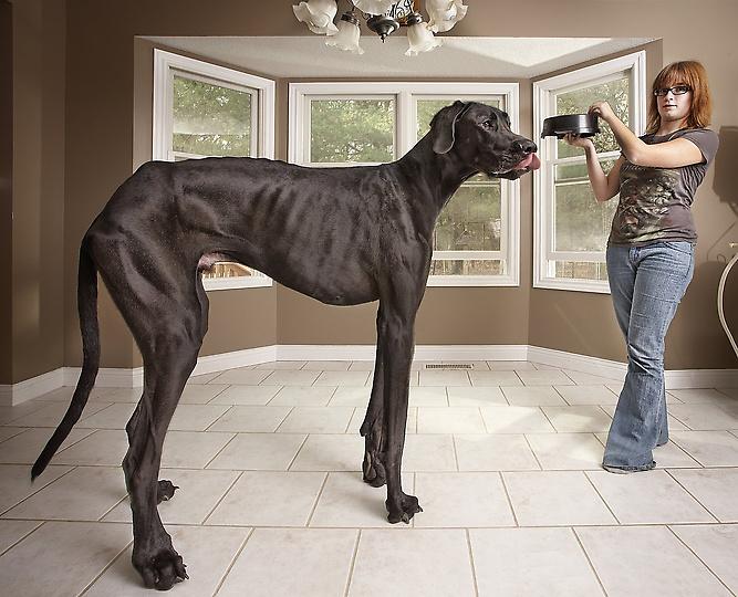 Самая высокая в мире собака