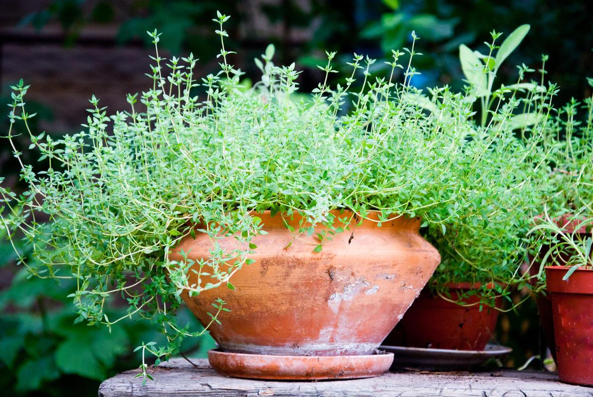 Выращиваем дома тимьян, эстрагон, чабер и иссоп домашний досуг,пряные травы