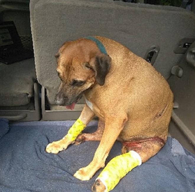 «У меня ваша собака! На нее напал аллигатор!»: как пес чудом избежал смерти после встречи с хищником