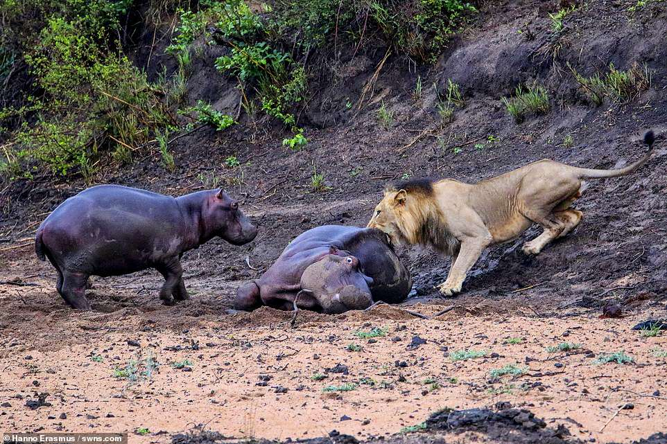 Taster: The lion gets its teeth into the adult hippo in front of its baby calf