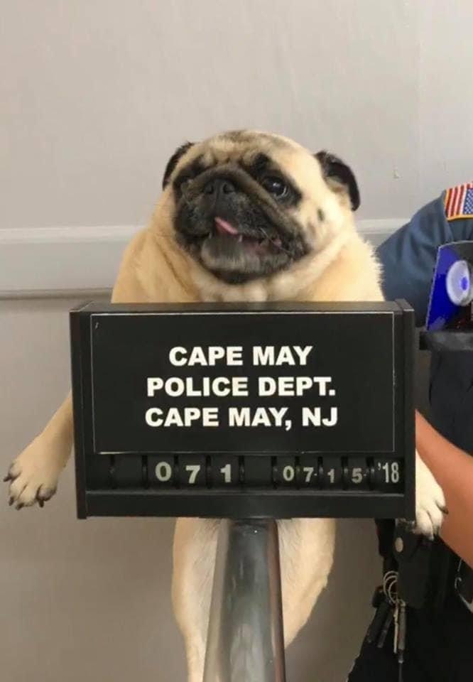 Мопса арестовали полицейские…