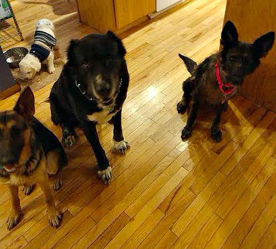 трое собак в доме
