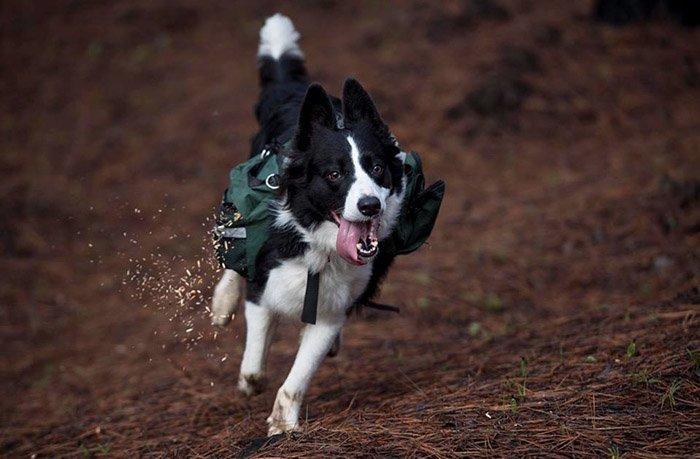 За каждый выгул и игру в мяч, собаки разбрасывают порядка 9 кг семян животные, лес, помощь, посадка, собака, собаки, спасение, чили