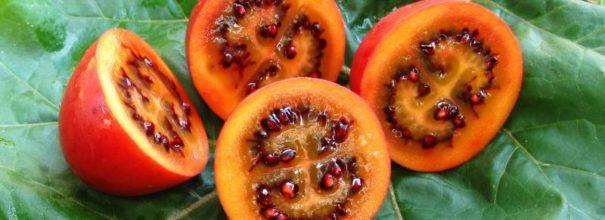 Помидорное дерево тамарилло: знакомимся – удивляемся – и выращиваем