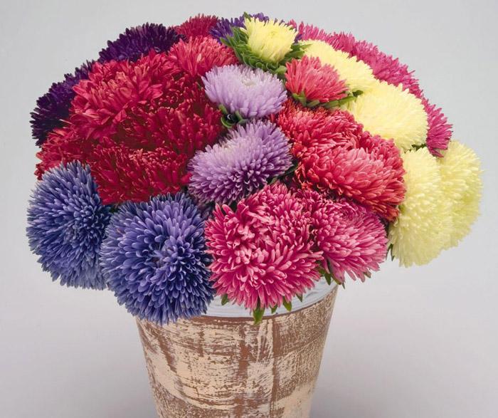 Астры символизируют чистую, скромную любовь - цветы на День Святого Валентина - 14 февраля