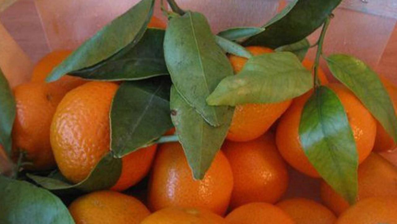 Размножение мандарина способом укоренения черенков
