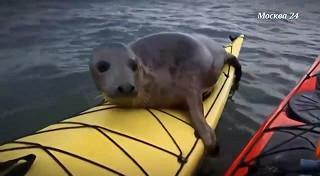 Тюлень взял на аборжаж каяк туристов