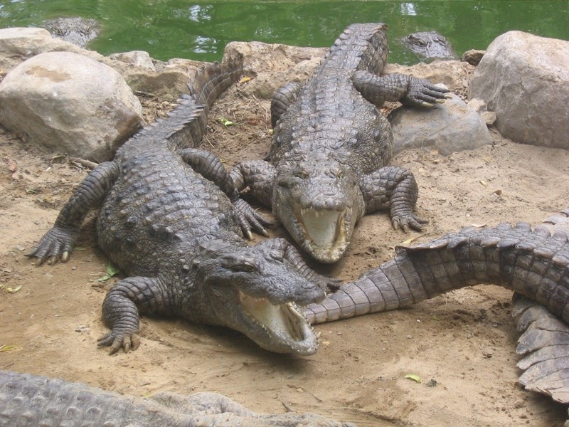 Крокодилы животные, интересное, море, опасность, подборка, факты, фауна