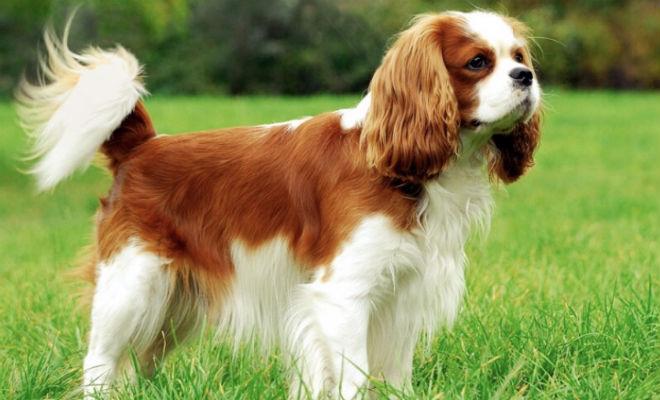 5 самых дорогих собак мира: дешевле купить машину Культура