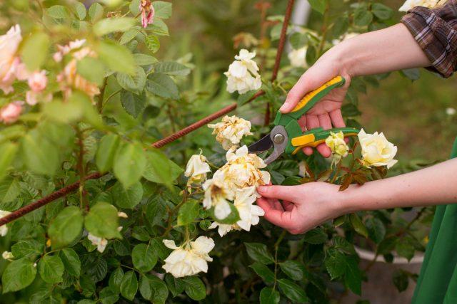 10 правил по-настоящему обильного цветения роз дача,сад и огород,цветоводство