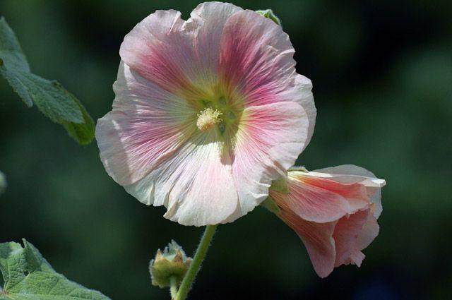 Гостья из Поднебесной. Как правильно выращивать шток-розы?