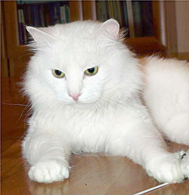 экспрессионистов картинки сибирских белых кошек как будет клевать