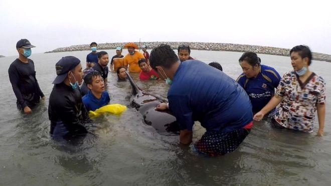 На побережье Таиланда умер черный дельфин. Его рвало полиэтиленовыми пакетами