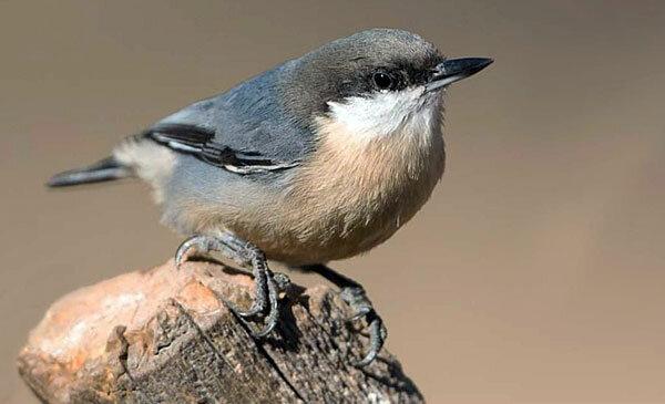 Поползень-крошка. Источник фото: allaboutbirds.org