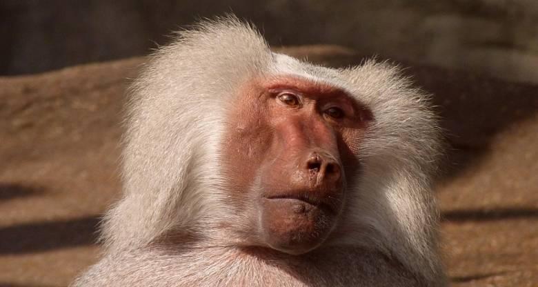 Бабуин 2 года прожил с пересаженным от свиньи сердцем
