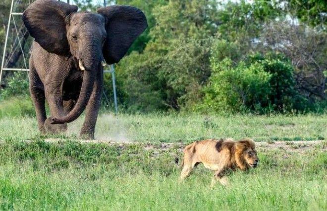 SЧто происходит когда льва изгоняют из стаи