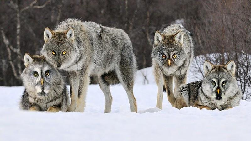 Волк-хлопотун животные, прикол, юмор