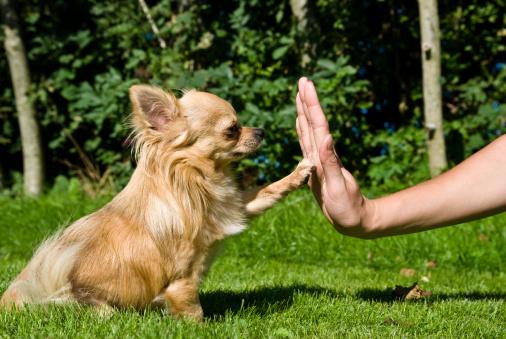 Почему одни собаки отлично дрессируются, а другие - нет?