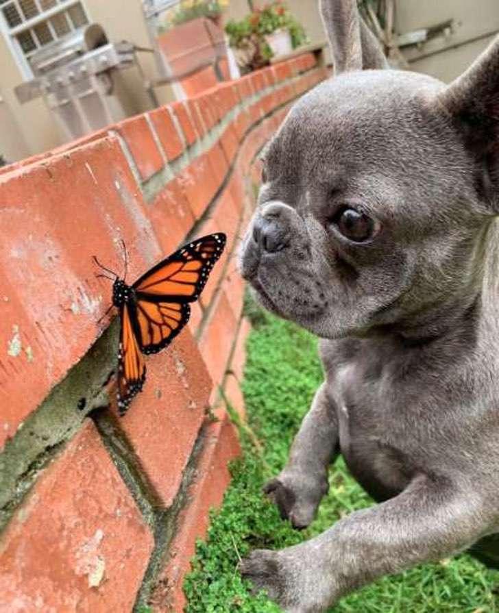 собака с бабочкой