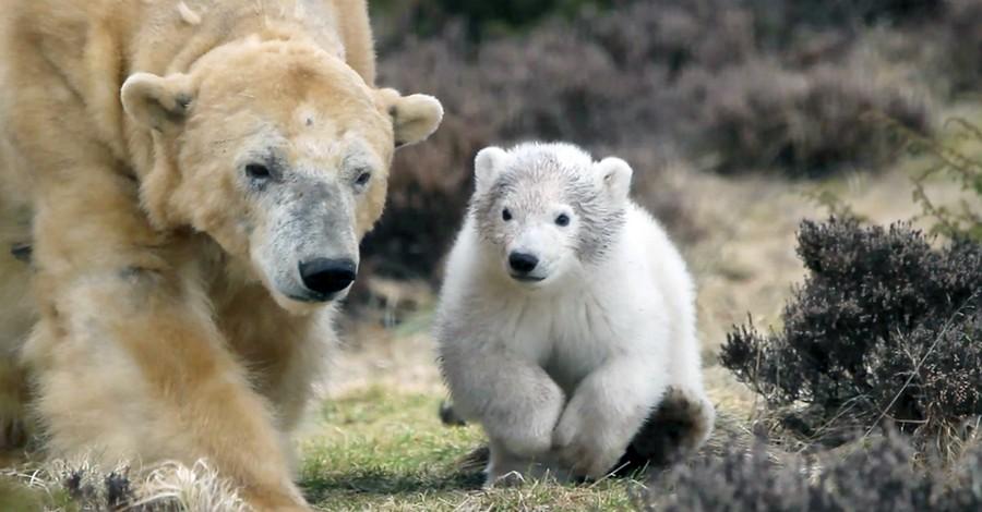Белый медвежонок попал в курьезную ситуацию