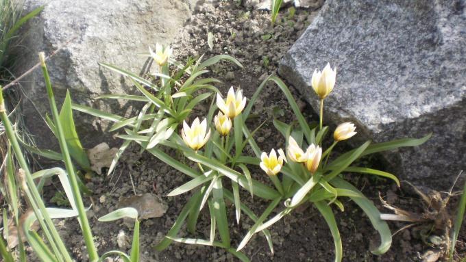 тюльпан туркестанский