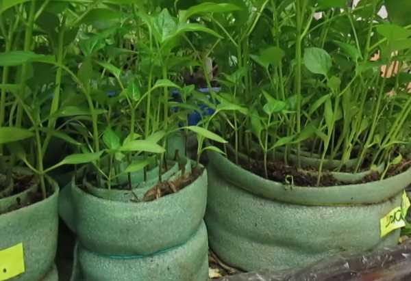 Выращивание рассады в улитках. Как правильно сделать улитку для рассады?