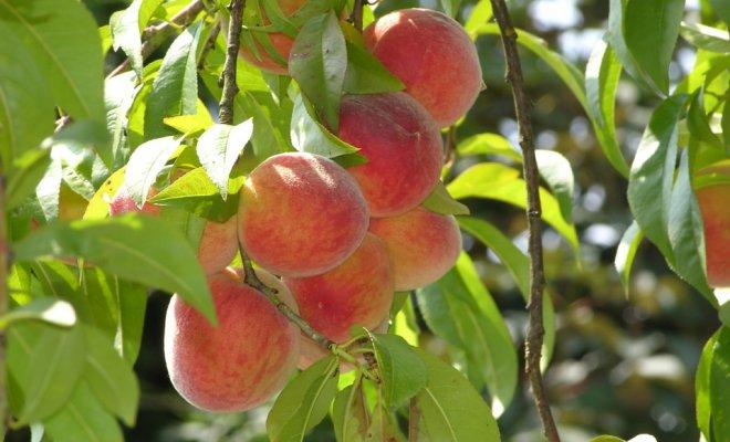 Сорта персиков для средней полосы России