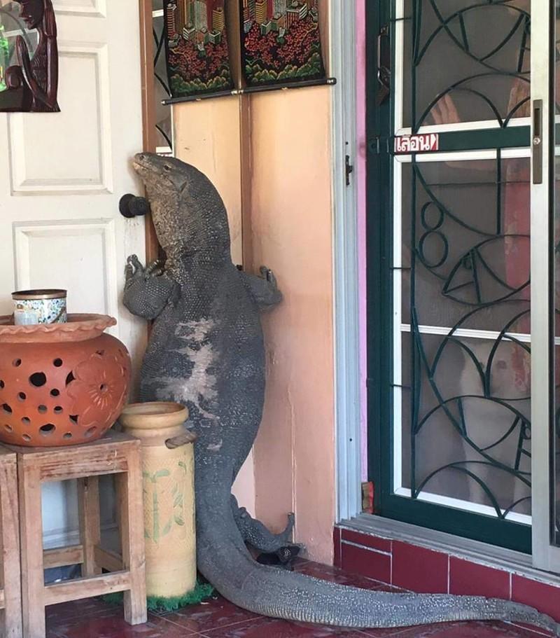 Парень вернулся домой и обнаружил, что огромный ящер ломится в его дом