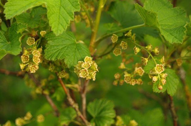 Смородина в конце мая - привлекаем пчел и размножаем отводками