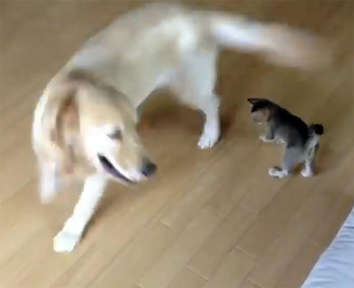Это милое видео сделает ваш день! Собака играет с котенком