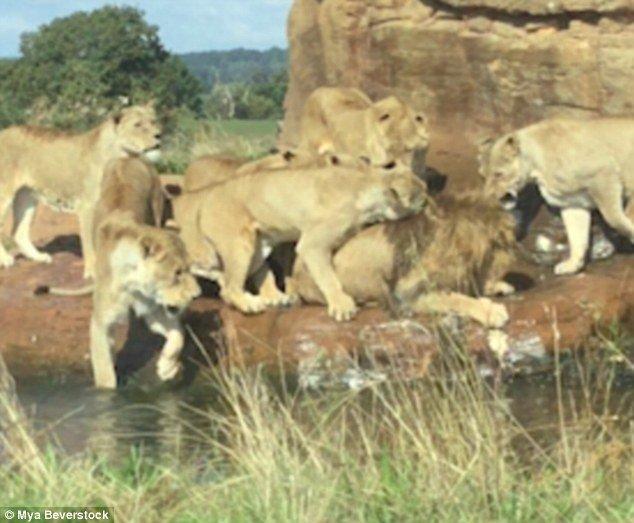 Девять львиц чуть не загрызли льва на глазах у потрясенных посетителей сафари-парка видео, дикая природа, жестокость, животные, львицы, львы, нападение, шокирующее видео