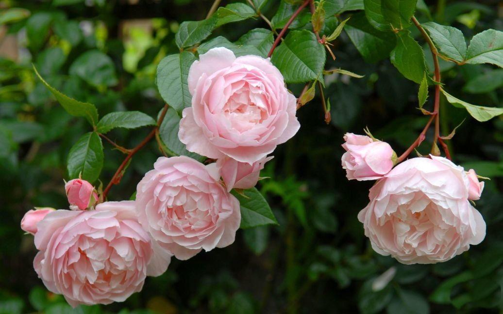 Сорта роз, названые в честь знаменитых личностей