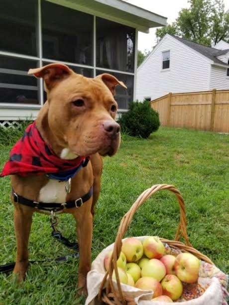 пес и корзина с яблоками