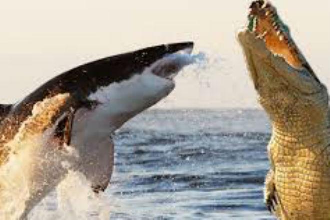 Гигантский крокодил схватился с белой акулой: битва титанов