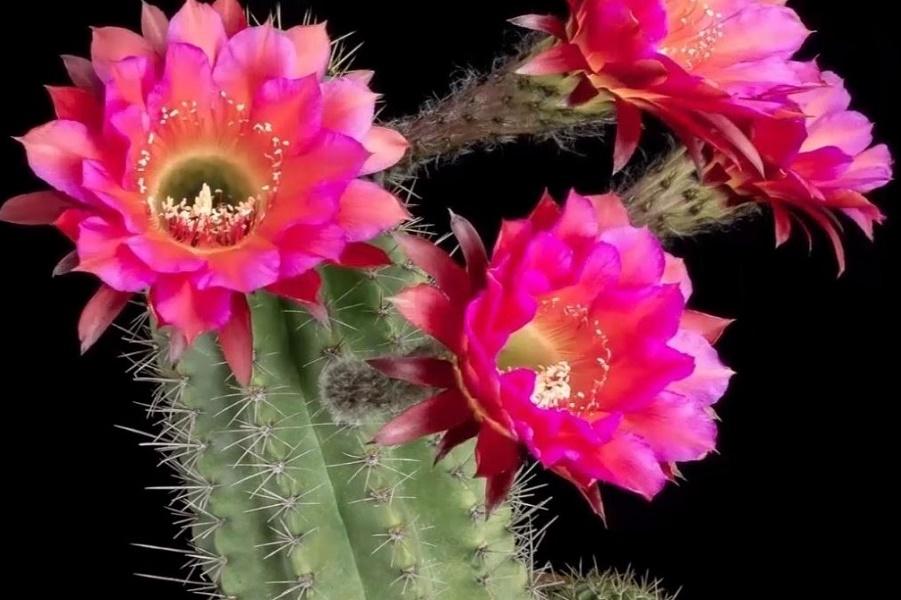 Они раскрываются ночью и цве…