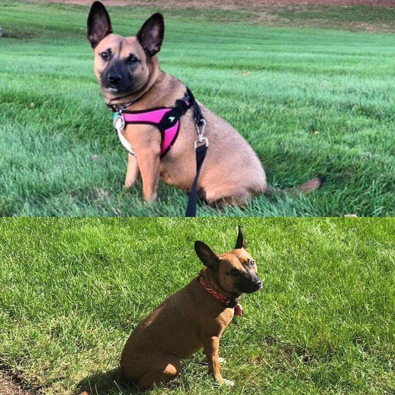 9. Это Рей. Разница между фото — год диета, до и после, домашний питомец, животные, похудела, собака, фигура