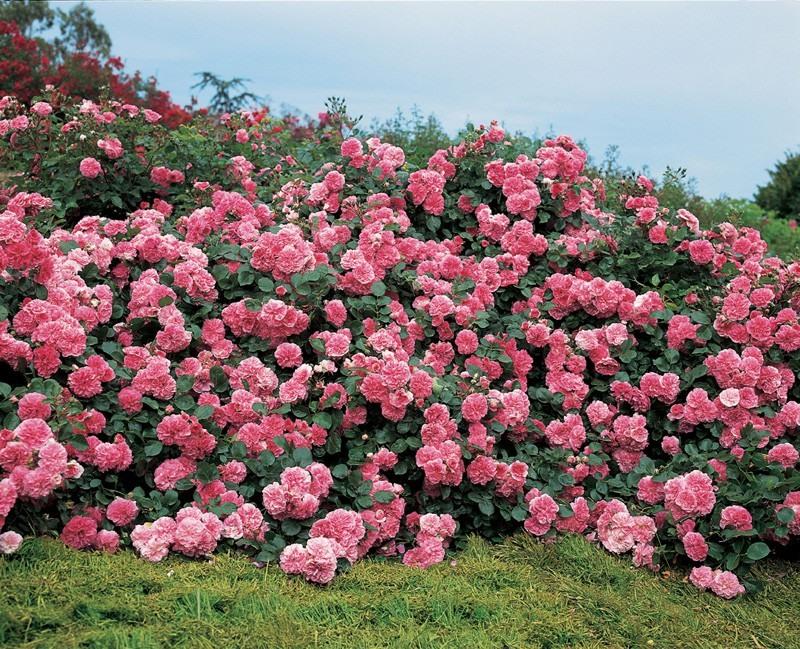 Жизнь в розовом цвете: 10 лу…