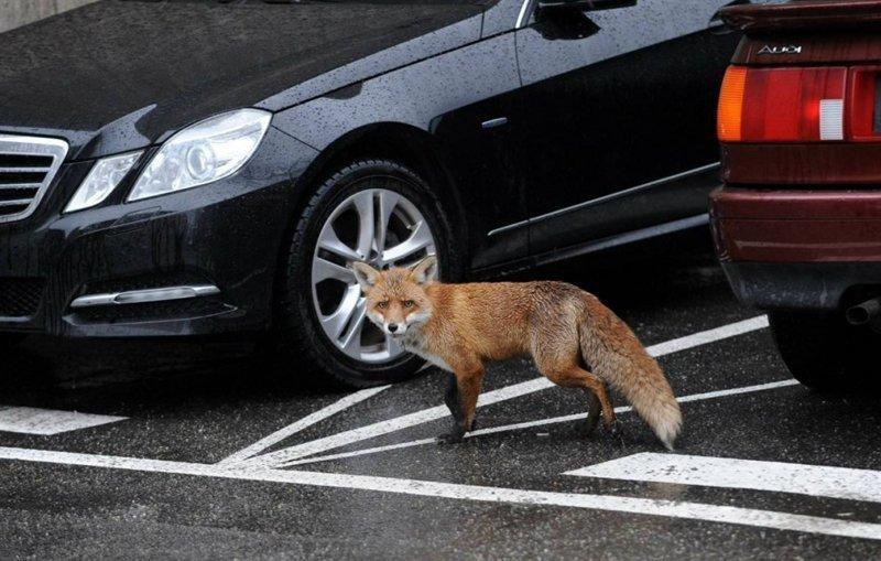 Полиция Лондона разгадала дело о кройдонском котоубийце борьба за выживание, животные, животные в городе, кошки, лисы, неожиданно, расследование, убийства