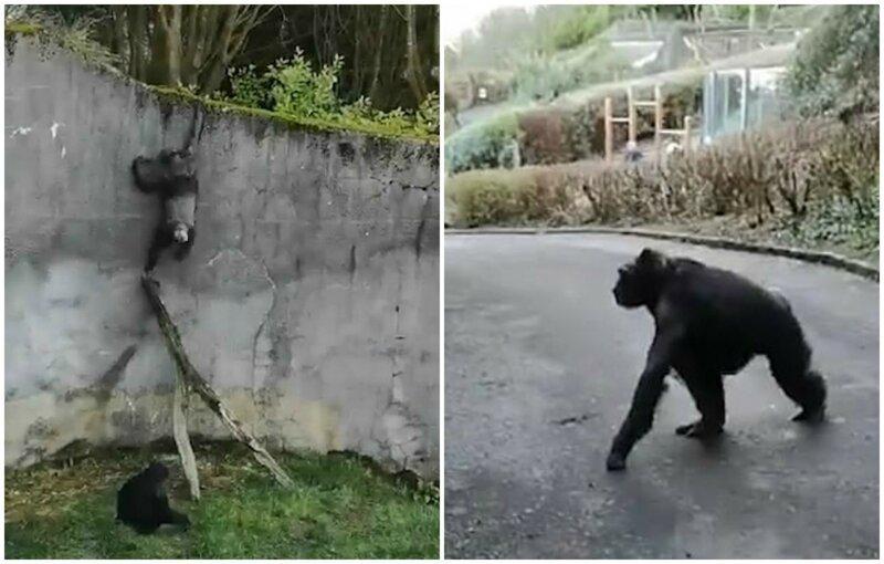 Шимпанзе сбежали из вольера зоопарка, соорудив лестницу из палок видео, животные, забавно, зоопарк, обезьяна, обезьяны, приматы, шимпанзе