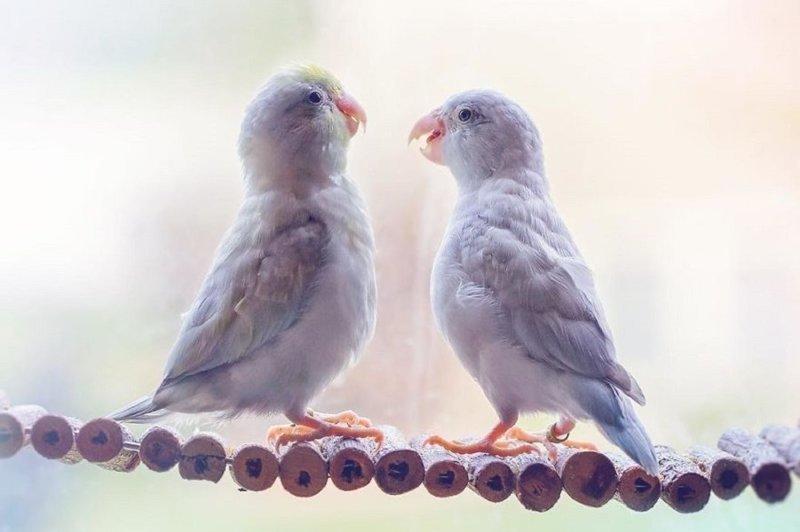 Фото влюбленных пастельных попугаев, которые растопят ваше сердечко