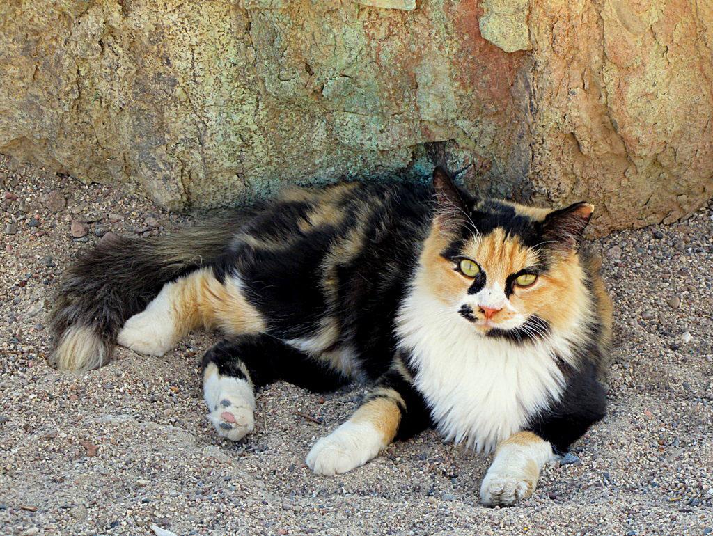 """""""Её суть - женственность кошачья. Мурчит под гладящей рукой Трёхцветка, что приносит счастье, Мурлыка с шахматной спиной..."""""""
