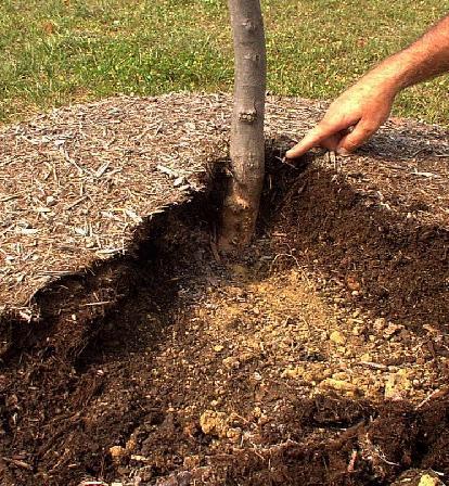 Можно ли засыпать землёй ствол дерева?