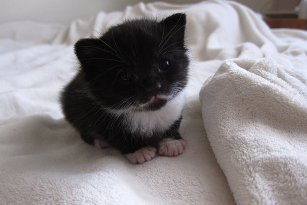 This mini mustache kitten who has the cutest toes.
