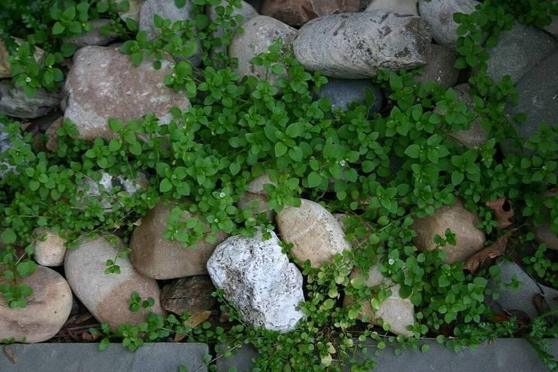 Мокрица — не просто сорняк, а целитель и кулинарный изыск!